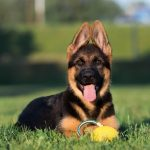 Do German shepherd's ears stand up naturally