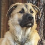 German Shepherd Great Pyrenees Mix 2021