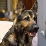 German Shepherds Shedding - Image By playbarkrun