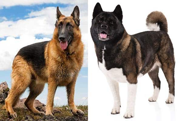 How To Care For An Akita German Shepherd Mix