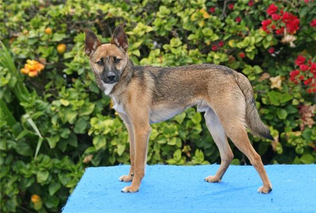 How To Care For German Shepherd Jack Russell Terrier Mix - Image By