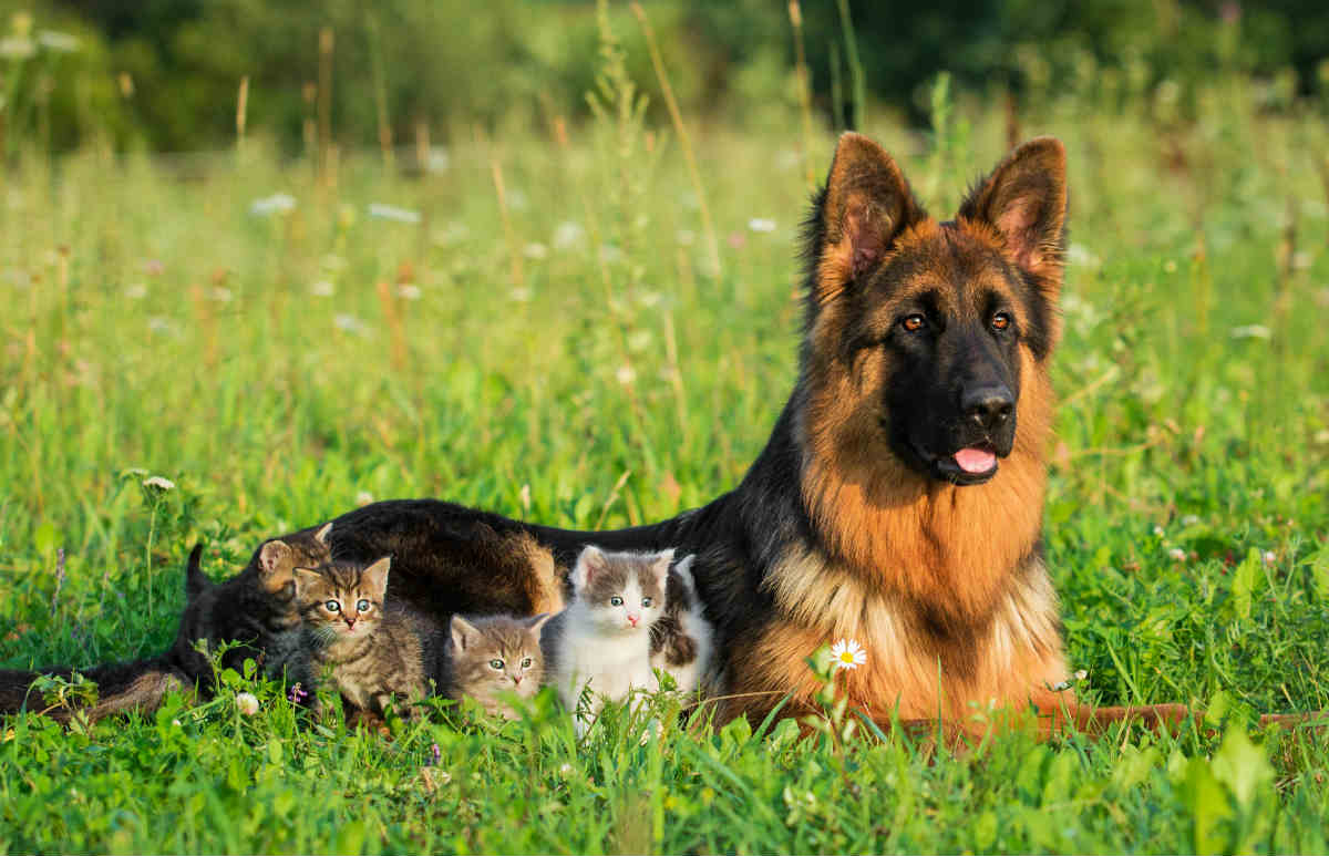 How To Train A German Shepherd To Get Along With Cats
