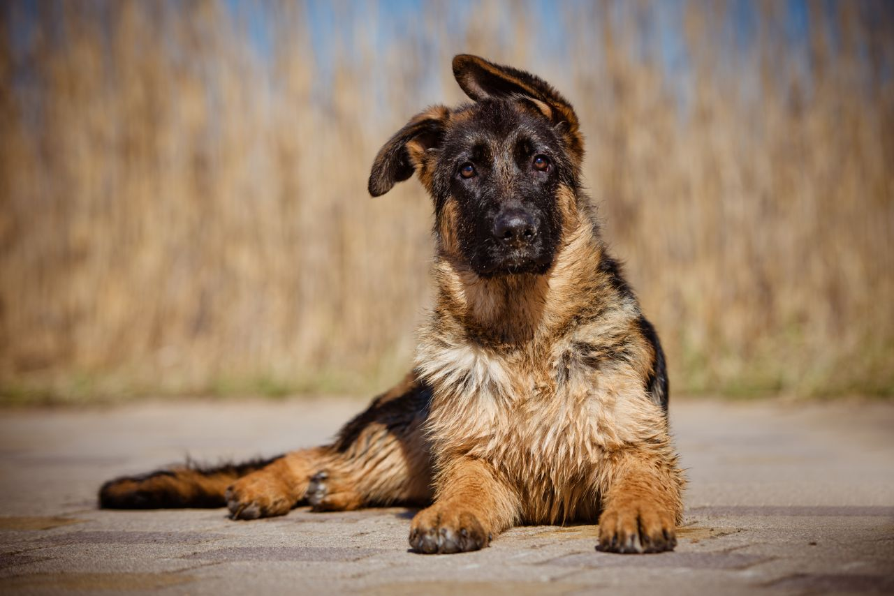 How to Train a German Shepherd's Ears to Stand Up