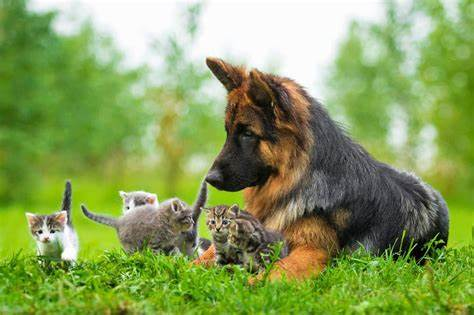 Introducing your German Shepherd to other pets