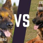 King Shepherd vs German Shepherd - Image By germanshepherdtraininginfo