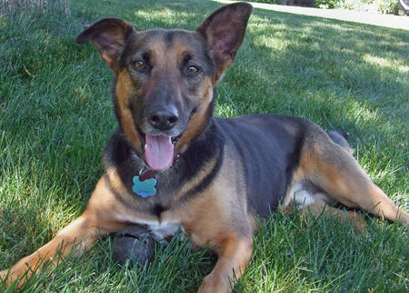 Some Facts About German Shepherd Jack Russell Terrier Mix