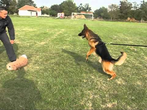 What Are The Costs For Trained German Shepherd Protection