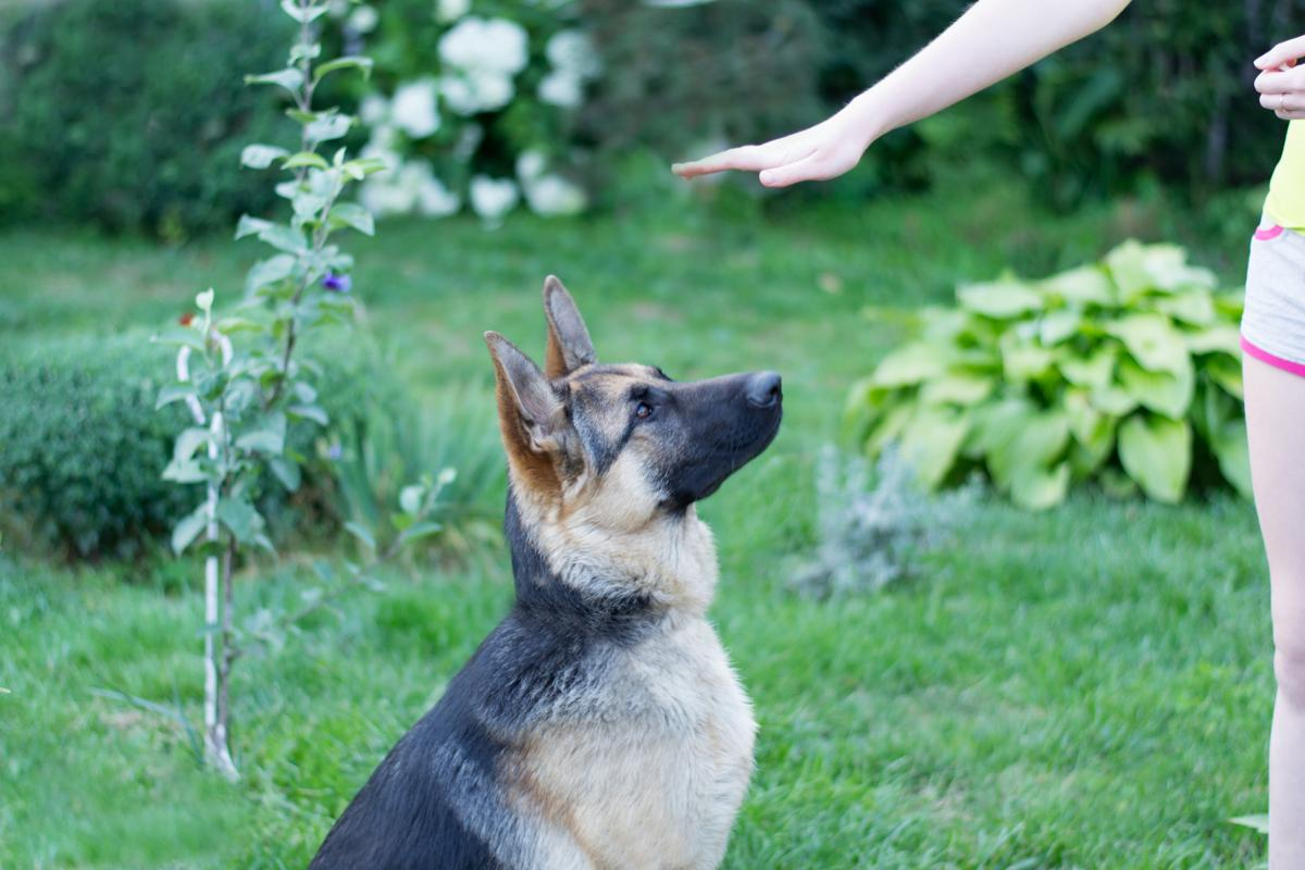 Why Bother Training A German Shepherd - Image By dogappy