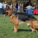 Why German Shepherd Obedience Training Is Necessary - Image By pittsburghdogtraining