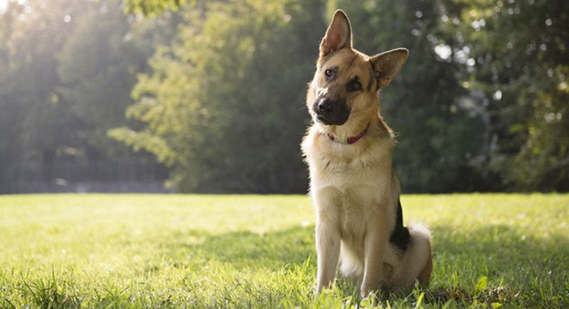 Why do German Shepherds shed so much - Image By playbarkrun