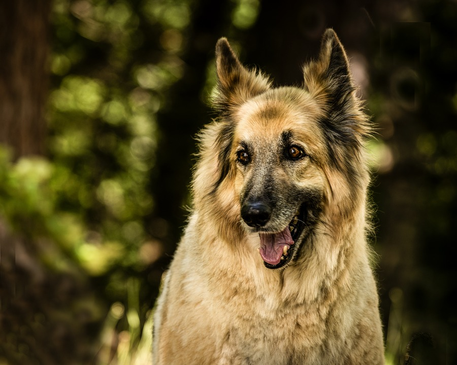 Wolfhound German Shepherd Mix - Image By shopforyourcause