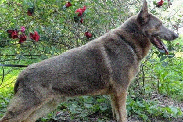 Basic Facts About the Isabella german shepherd