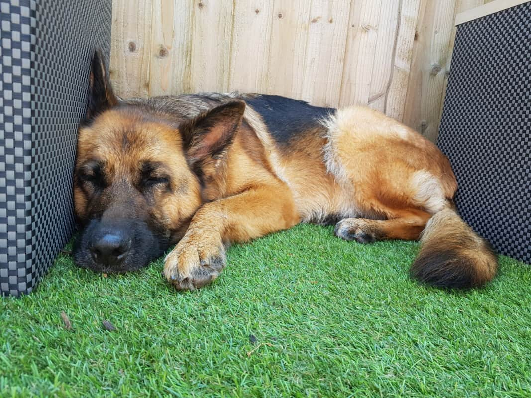 Causes to Make Your German Shepherd Overweight - Image By k9magazinefree