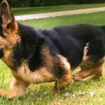 Dwarf German Shepherd