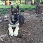 German Shepherd Malamute Mix - Image By pets4homes