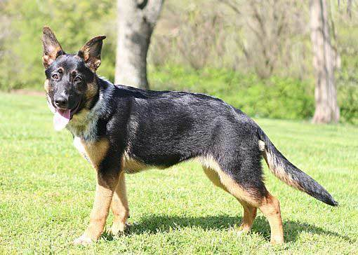 How to Train A Blue Heeler German Shepherd Mix - Image By howtotrainthedog