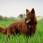 Liver Colored German Shepherd
