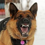 What Age Does A German Shepherd Become Aggressive