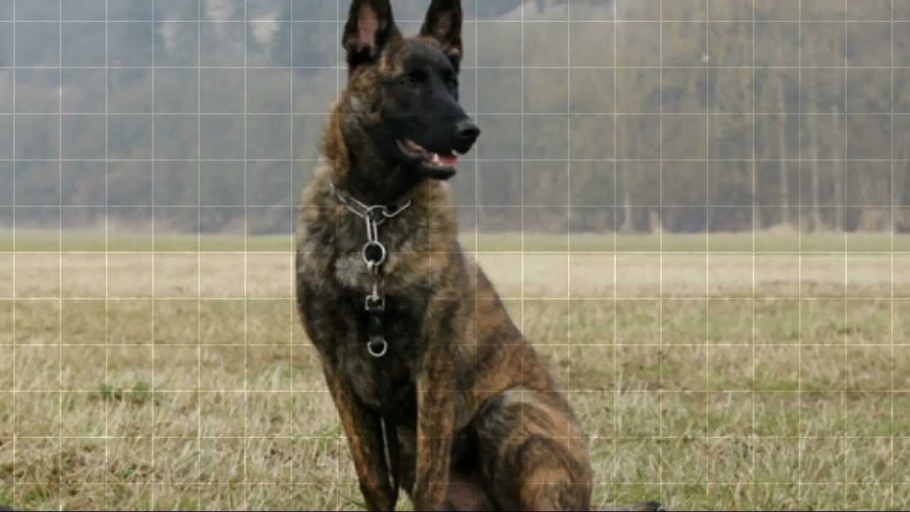 What Are The Differences Between The German Shepherd And The Belgian Malinois