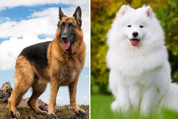What Is A German Shepherd Samoyed Mix
