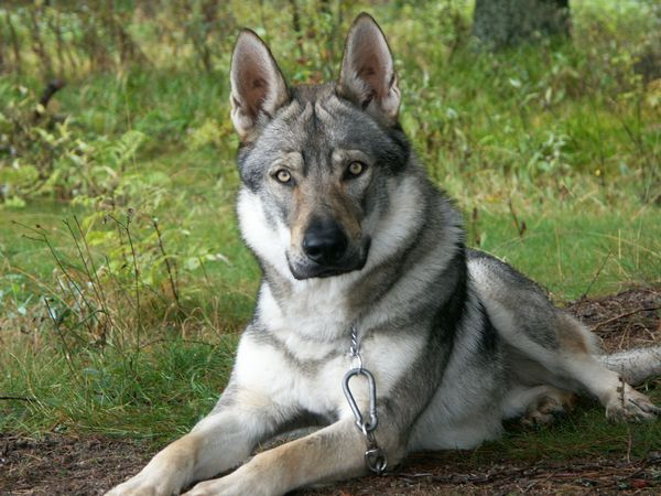 What Is An American Tundra Shepherd