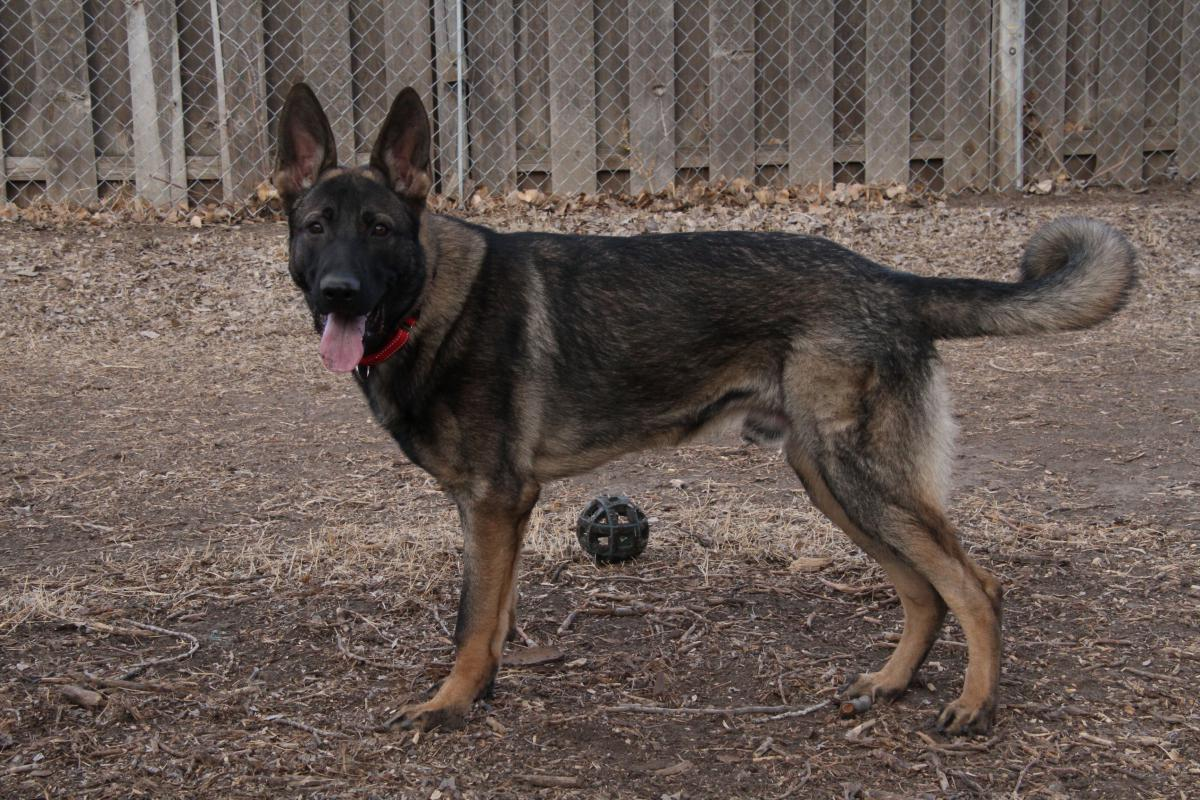 Do German Shepherds Have Curly Tails