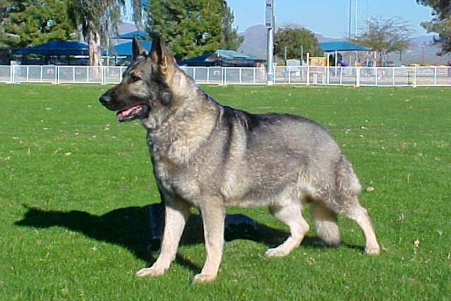 How To Care For A Gray Sable German Shepherd Mix