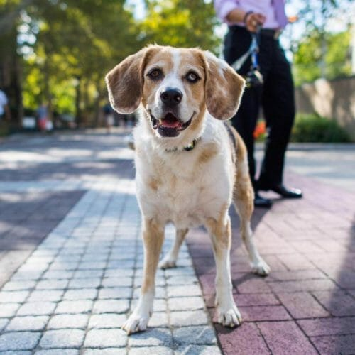 How to care for your Australian Shepherd Beagle mix