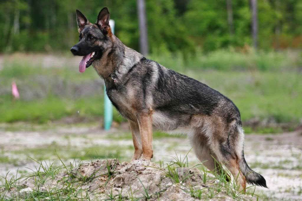 Some Facts About the Gray Sable German Shepherd Mix
