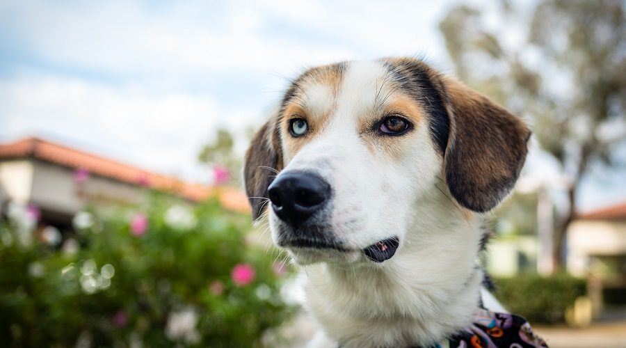 Some facts about the Australian Shepherd Beagle mix