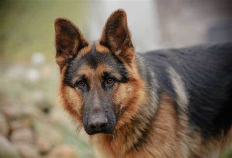 Do German Shepherds Whine A Lot