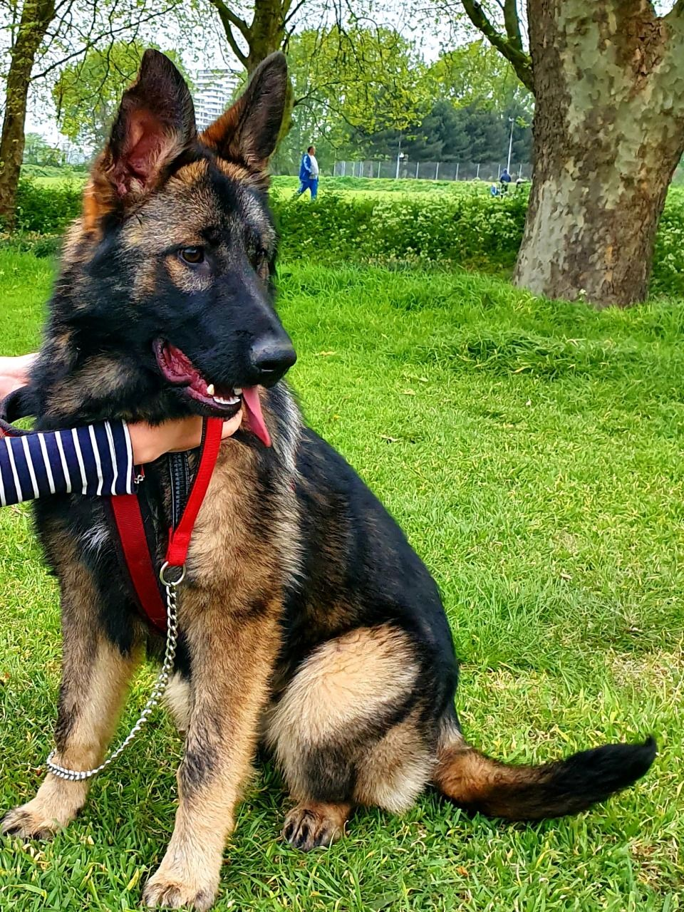How to Care For a 6-month-old German shepherd puppy
