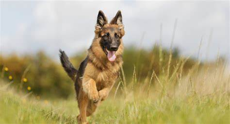 Why Does Your German Shepherd Whine A Lot