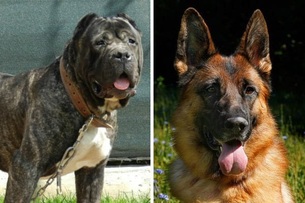 How To Care For Presa Canario German Shepherd Mix