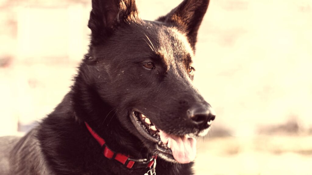 Will A Coyote Attack A German Shepherd?